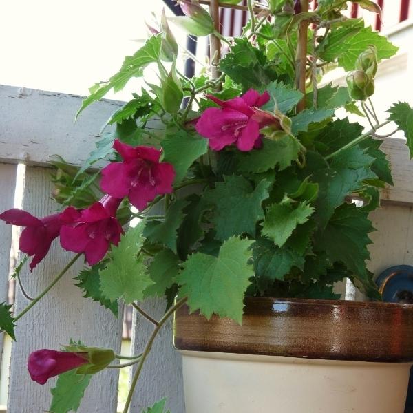 Азарина лазающая: выращивание из семян