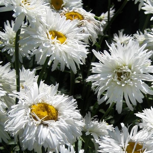 Леукантемум нивяник: выращивание из семян