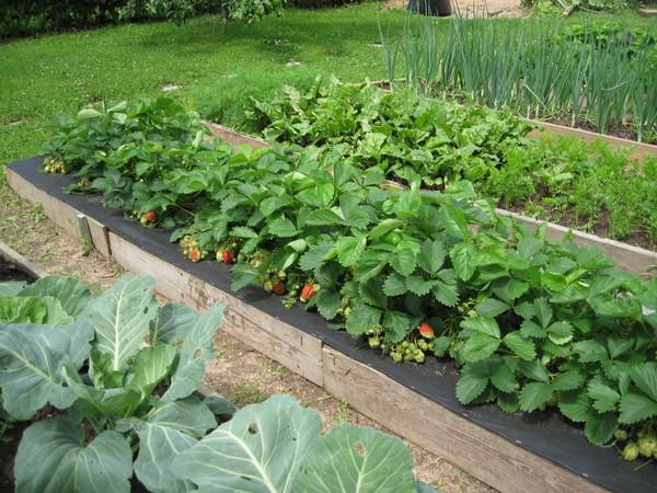 Земляника Али Баба: выращивание из семян